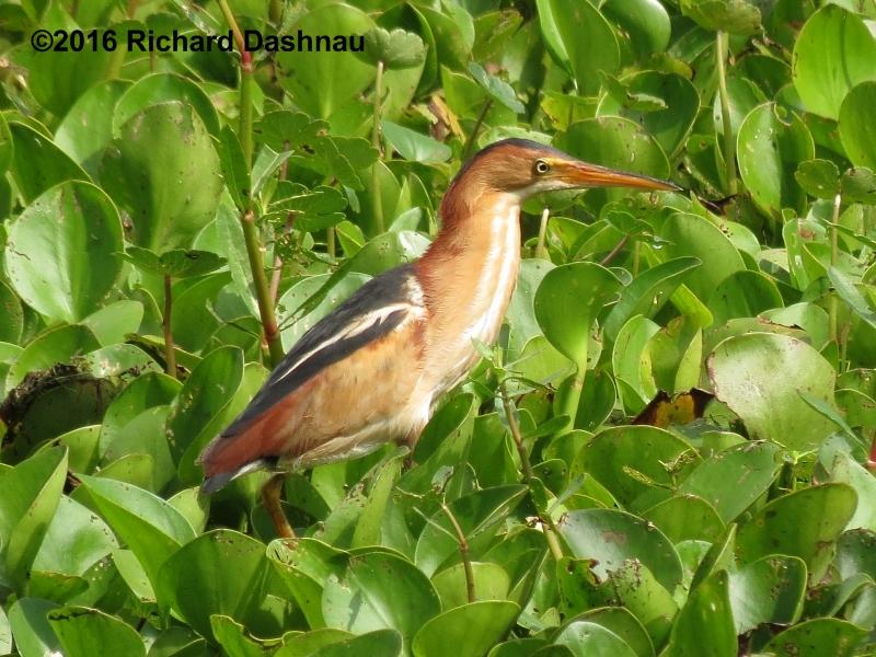 Rickubis Bird Page #10: Bitterns Least Bittern Baby